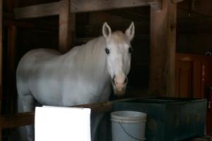 Nikko. Vero Cavallo Bianco.