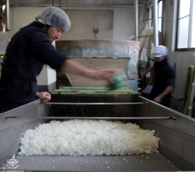 Tanekiri, preparazione del riso per divenire kojimai (courtesy of Tomita shuzo)