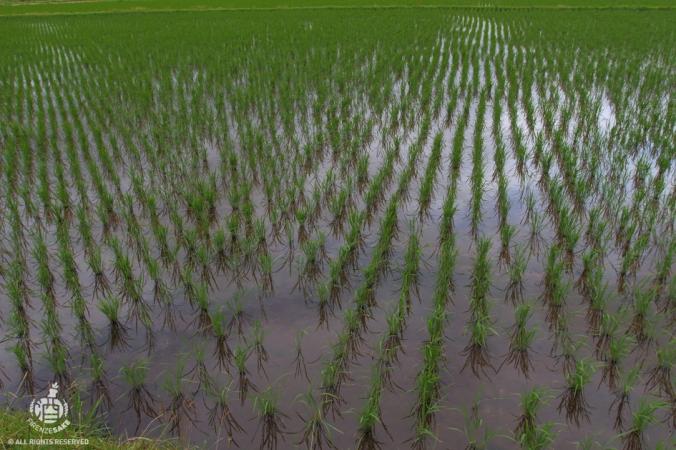 Piantagione di riso per la produzione di nihonshu (courtesy of Arimitsu shuzo).