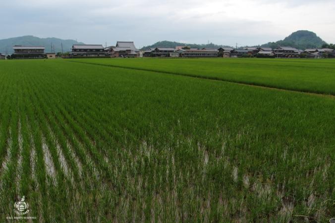Piantagione di riso per la produzione di nihonshu