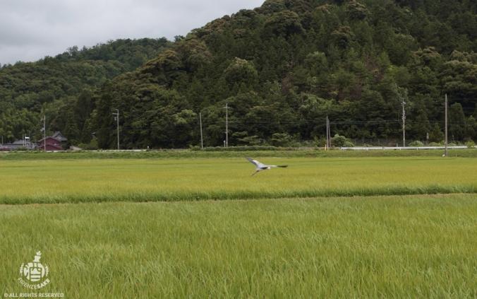 Prefettura di Fukui: risaia.